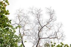 Ветви на белой предпосылке стоковые изображения rf