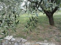 Ветви оливкового дерева с первыми бутонами Италия Тоскана Стоковая Фотография RF