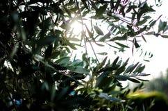 Ветви оливкового дерева стоковое фото