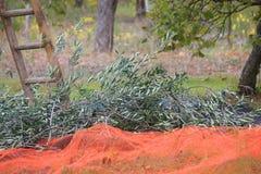 Ветви оливок около лестницы в поле Стоковое фото RF