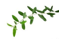 Ветви оливок Стоковая Фотография RF