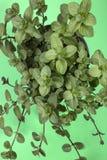 Ветви оранжевой мяты на зеленом цвете Стоковые Фото