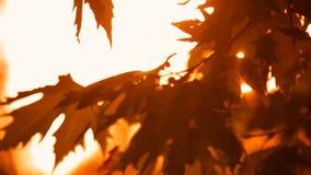 Ветви осени и листья явора видеоматериал