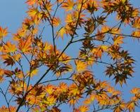 Ветви осени над голубым небом Стоковые Фотографии RF