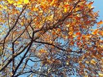 Ветви осени с голубым небом на заднем плане Стоковые Изображения