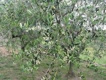 Ветви оливкового дерева с первыми бутонами Италия Тоскана Стоковые Фотографии RF
