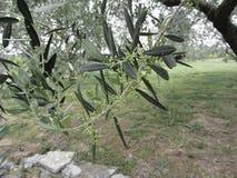 Ветви оливкового дерева с первыми бутонами Италия Тоскана Стоковое Фото