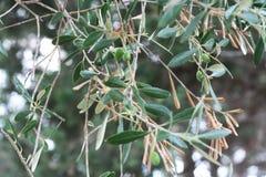 ветви Оливк-дерева с плодоовощами Стоковые Изображения