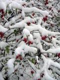 Ветви одичалого подняли в снег Стоковая Фотография