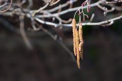 Ветви ольшаника, glutinosa Alnus, с цветорасположением и конусами Стоковая Фотография RF