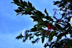 Ветви падуба с предпосылкой сини зимы стоковая фотография