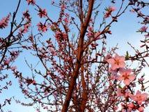 Ветви персикового дерева против неба Стоковое фото RF