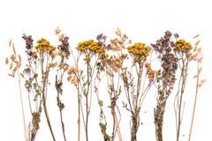 Ветви плоского положения сухие пижмы и вереска на белой предпосылке Стоковое фото RF