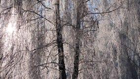 Ветви покрытой снег березы против голубого неба следы снежка силуэта падений железнодорожные тренируют смутное сток-видео