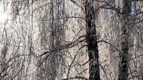Ветви покрытой снег березы против голубого неба следы снежка силуэта падений железнодорожные тренируют смутное акции видеоматериалы