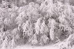Ветви, покрытые, внутри, предпосылку снега Стоковая Фотография