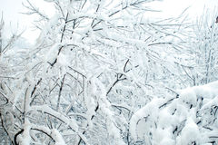 Ветви под снегом Стоковая Фотография