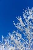 Ветви предусматриванные в изморози Стоковое Изображение
