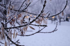 Ветви предусматриванные с заморозком на замерзая зимний день Стоковые Изображения RF