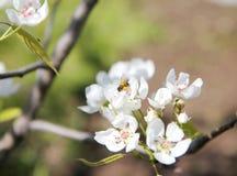 Ветви пчелы опыляя цветя дерева Стоковые Фото