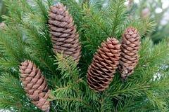 Ветви рождественской елки с конусами Стоковые Фото