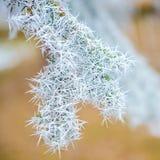Ветви рождественской елки в лесе зимы снега заморозка оправы, clo стоковая фотография rf
