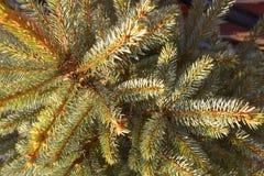 Ветви рождественской елки Стоковая Фотография