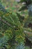Ветви рождественской елки Стоковое фото RF