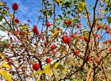 Ветви розового бедра Стоковая Фотография