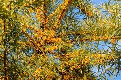 Ветви свежего моря Стоковое Фото