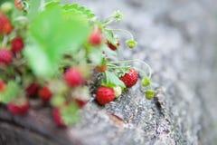Ветви свежей одичалой одичалой клубники на старой древесине журнала Стоковые Фотографии RF