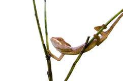 Ветви скрещивания хамелеона Стоковое Фото