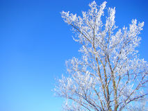 Ветви снежной белизны сравнивают с голубым небом Стоковые Фотографии RF