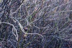 Ветви собак-Розы Стоковое фото RF