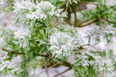 Ветви сосенки предусматриванные в снежке Стоковые Фотографии RF
