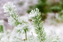 Ветви сосенки предусматриванные в снежке Стоковые Фото