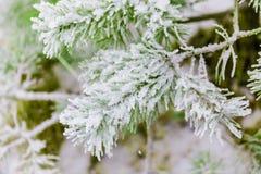 Ветви сосенки предусматриванные в снежке Стоковая Фотография
