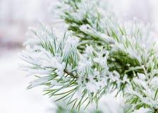 Ветви сосенки предусматриванные в снежке Стоковое Фото