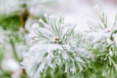 Ветви сосенки предусматриванные в снежке Стоковое Изображение RF