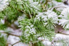 Ветви сосенки предусматриванные в снежке Стоковые Изображения RF