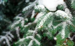 Ветви сосенки предусматриванные в снежке Стоковое Изображение