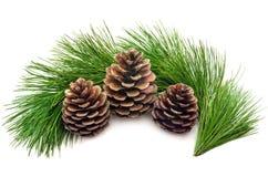 Ветви сосенки с конусами Стоковое фото RF