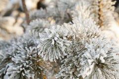 Ветви сосенки Стоковые Изображения RF
