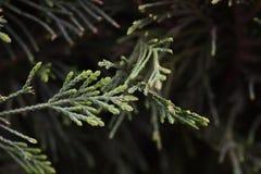 Ветви сосенки Стоковое Изображение