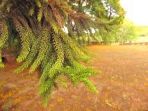 Ветви сосны стоковое изображение rf