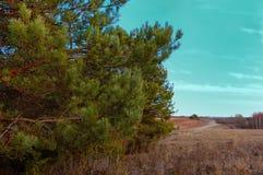 Ветви сосны на фоне неба Стоковые Изображения