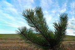 Ветви сосны на фоне неба Стоковое фото RF