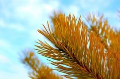 Ветви сосны на фоне неба Стоковые Изображения RF