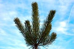 Ветви сосны на фоне неба Стоковая Фотография