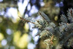 Ветви сосны с концом-вверх игл Стоковая Фотография RF
